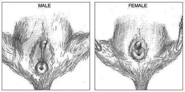 Как определить пол дегу