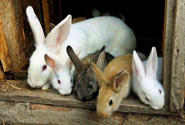 Этапы развития крольчат
