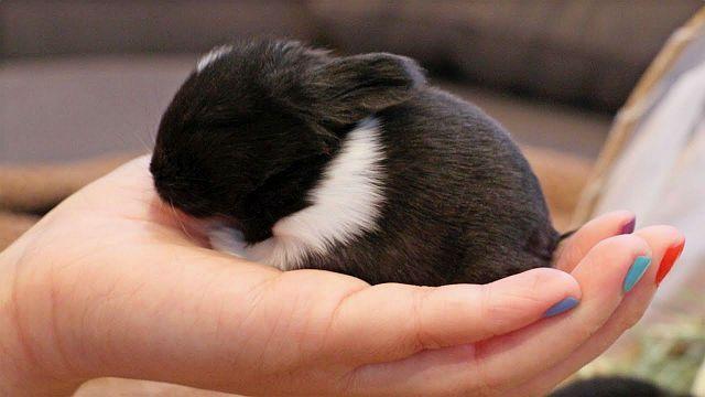 Отъем крольчонка от крольчихи
