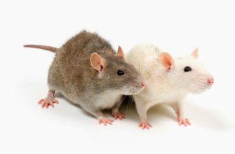 Как узнать пол крысы - главное фото