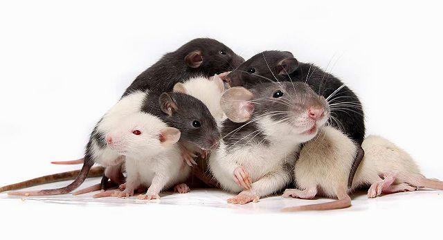 Определение пола маленьких крысят