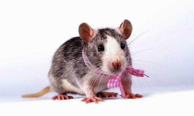 Крыса - мальчик