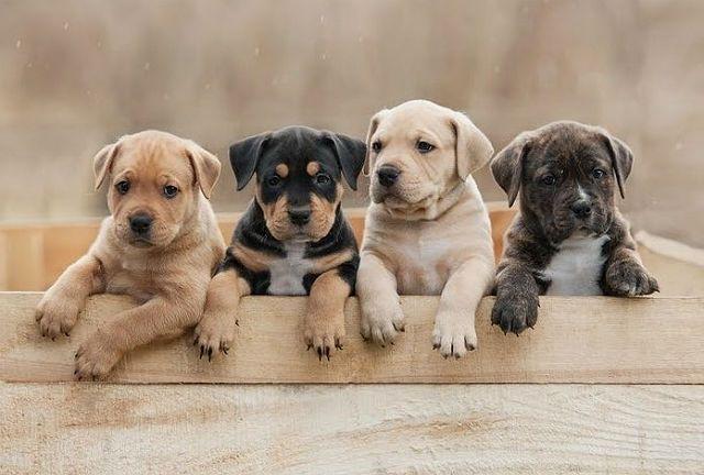 Калькулятор возраста собаки - щенки