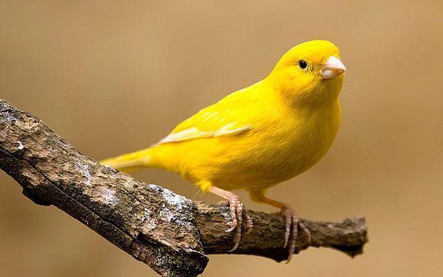 Желтая канарейка