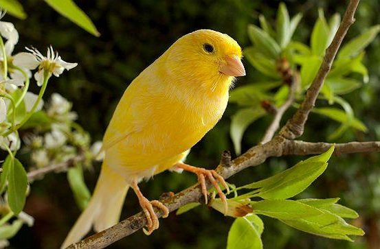 Канарейка с желтым оперением
