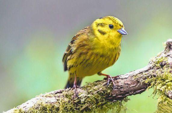 Птичка Канарейка