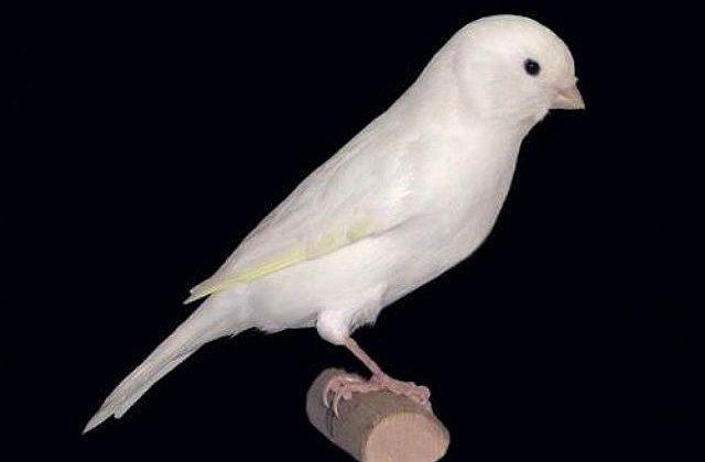 Канарейка - белая