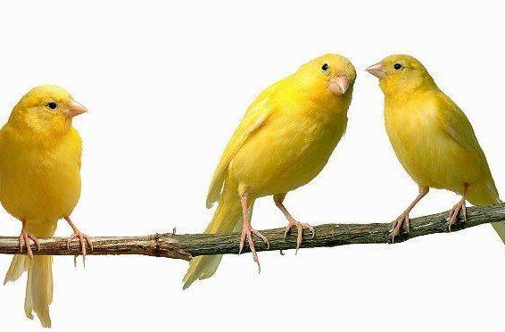 Три желтые канарейки