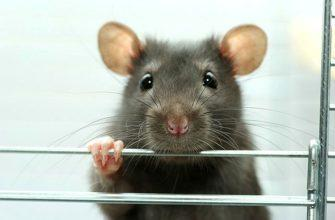 Клетка для крысы - главное фото