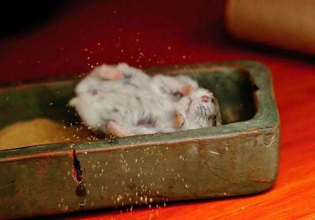 Джунгарский хомячок принимает песочную ванну