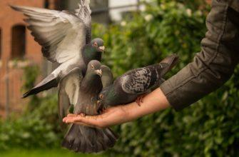 три голубя