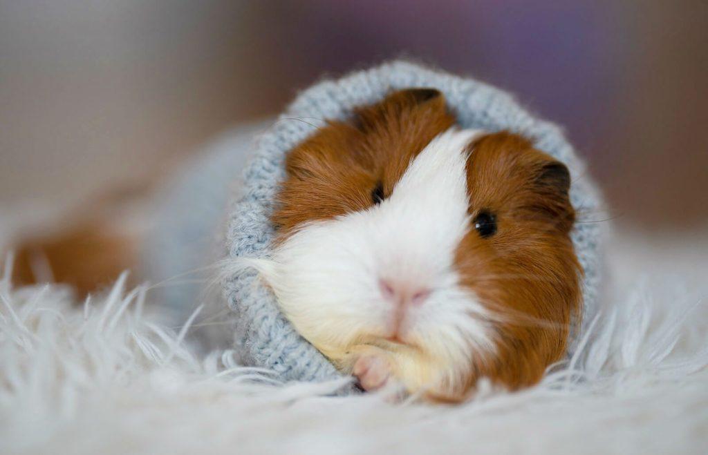 Пневмония у морской свинки