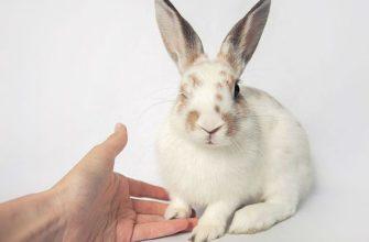 Пододерматит у кроликов - главное фото