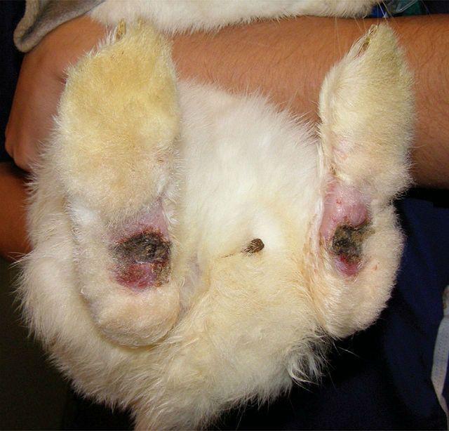 Пододерматит у кроликов - последняя стадия