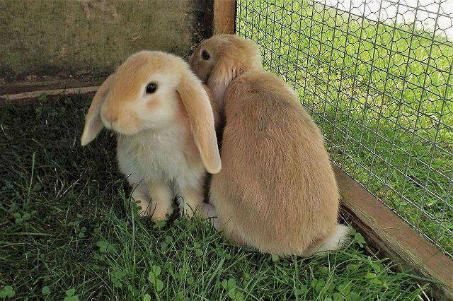 Пододерматит у кроликов - профилактика