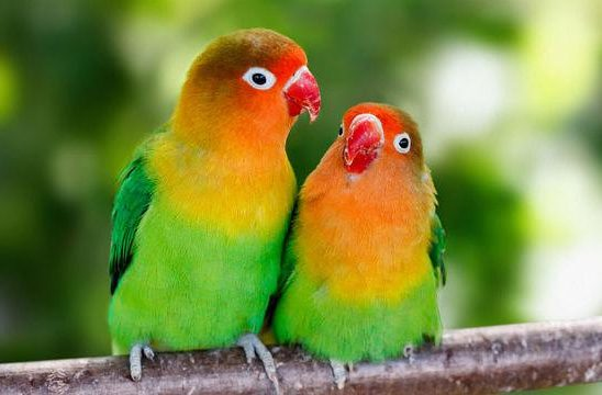 Попугаи-неразлучники с красным клювом