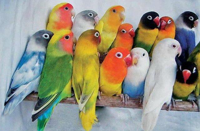 Попугаи-неразлучники - разноцветные