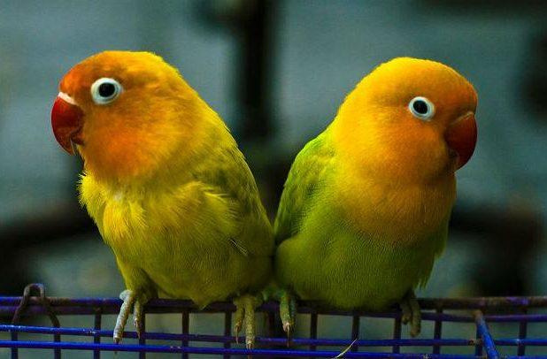 Попугаи-неразлучники с желтой головой