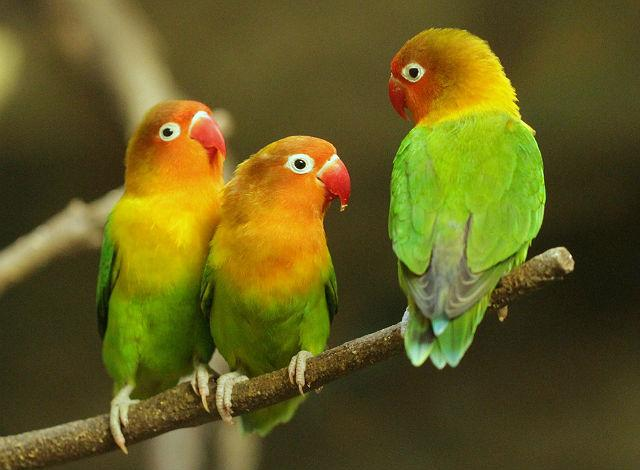 Три попугая-неразлучника