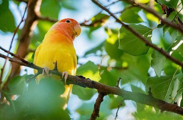 Попугай-неразлучник на ветке