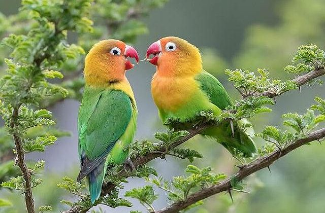 Попугаи-неразлучники с зеленым оперением