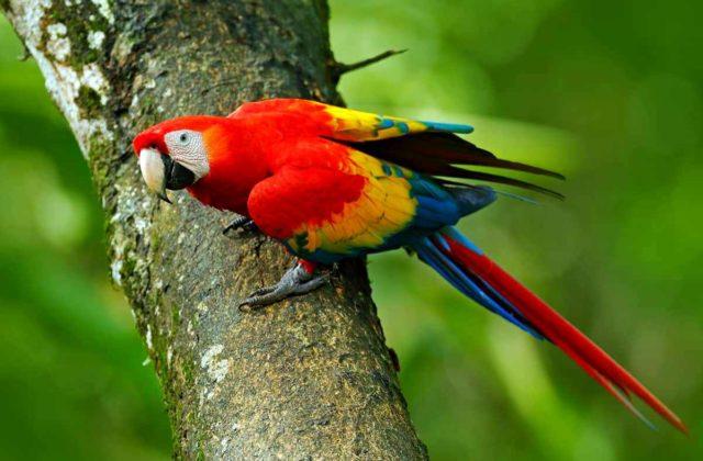 Попугай ара-1