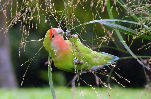 Попугайчик-неразлучник
