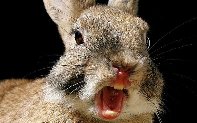 Как предупредить агрессию у самцов кроликов