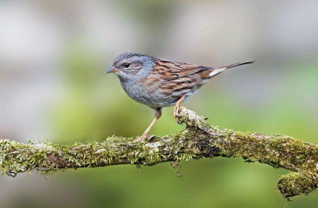 Птица завирушка на ветке