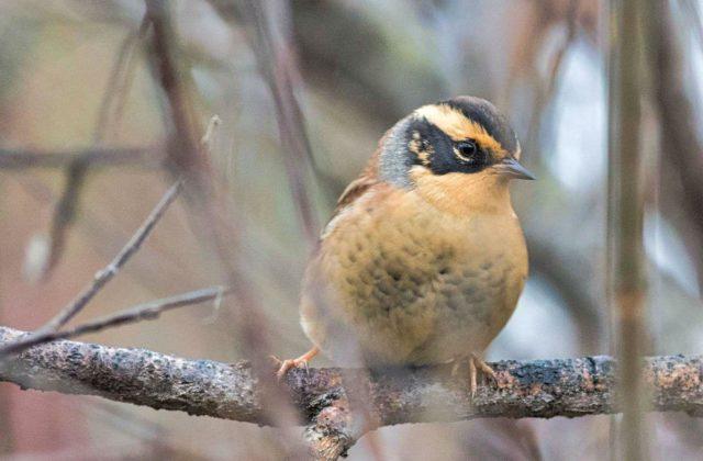Птица завирушка - вид спереди