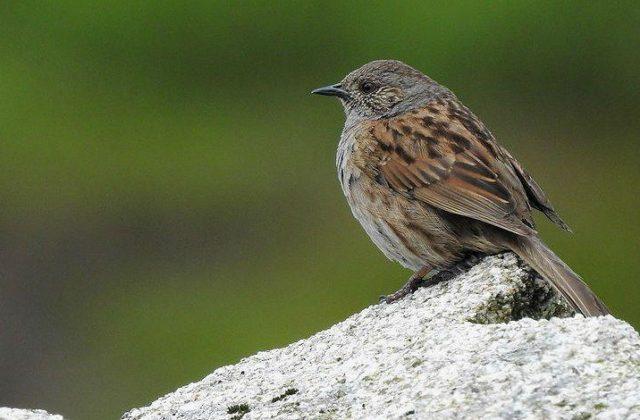Птица завирушка - вид сбоку