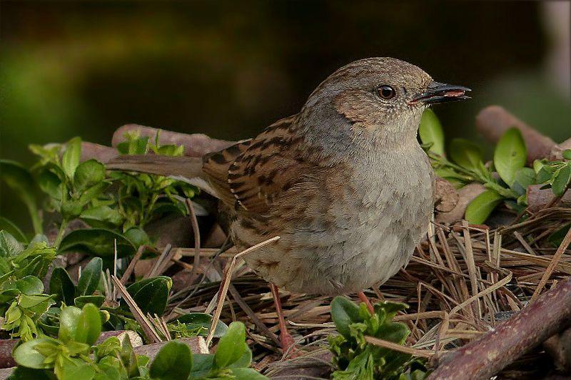 Птица завирушка - образ жизни