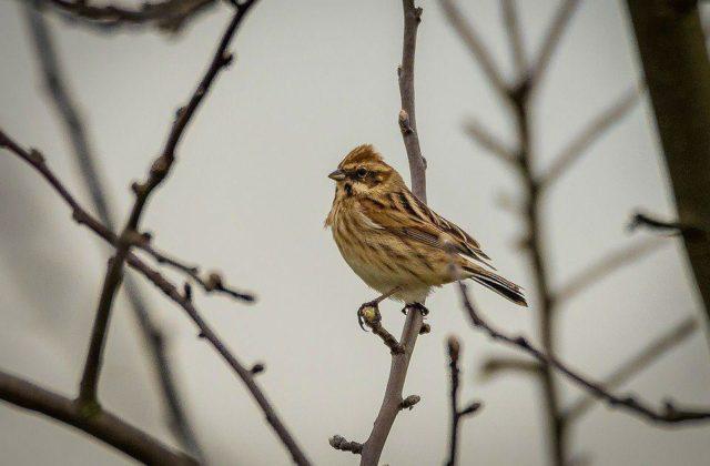 Птица завирушка - сибирская