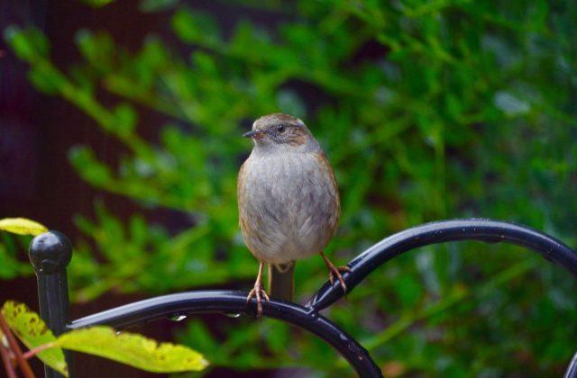 Птица завирушка в саду