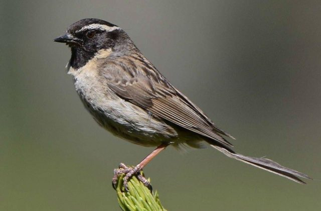 Маленькая птица завирушка