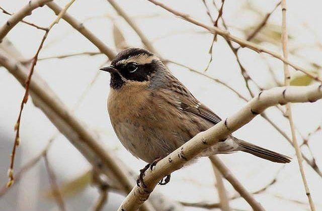 Птица завирушка осенью