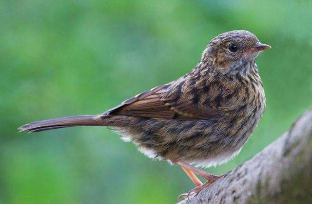 Птица завирушка, похожая на воробья