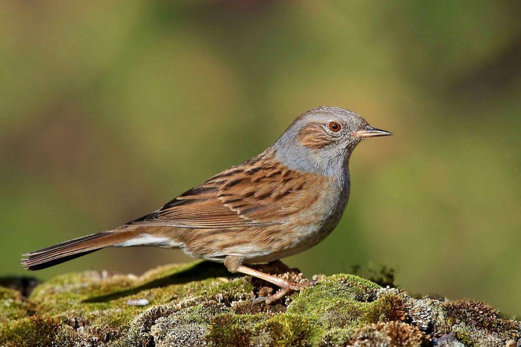 Птица завирушка - главное фото