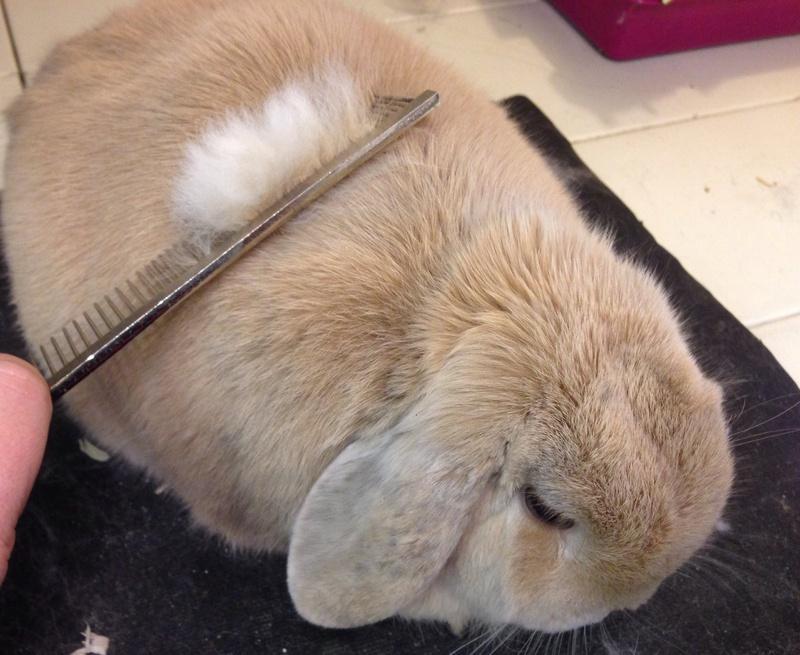 подготовка к стрижке кролика