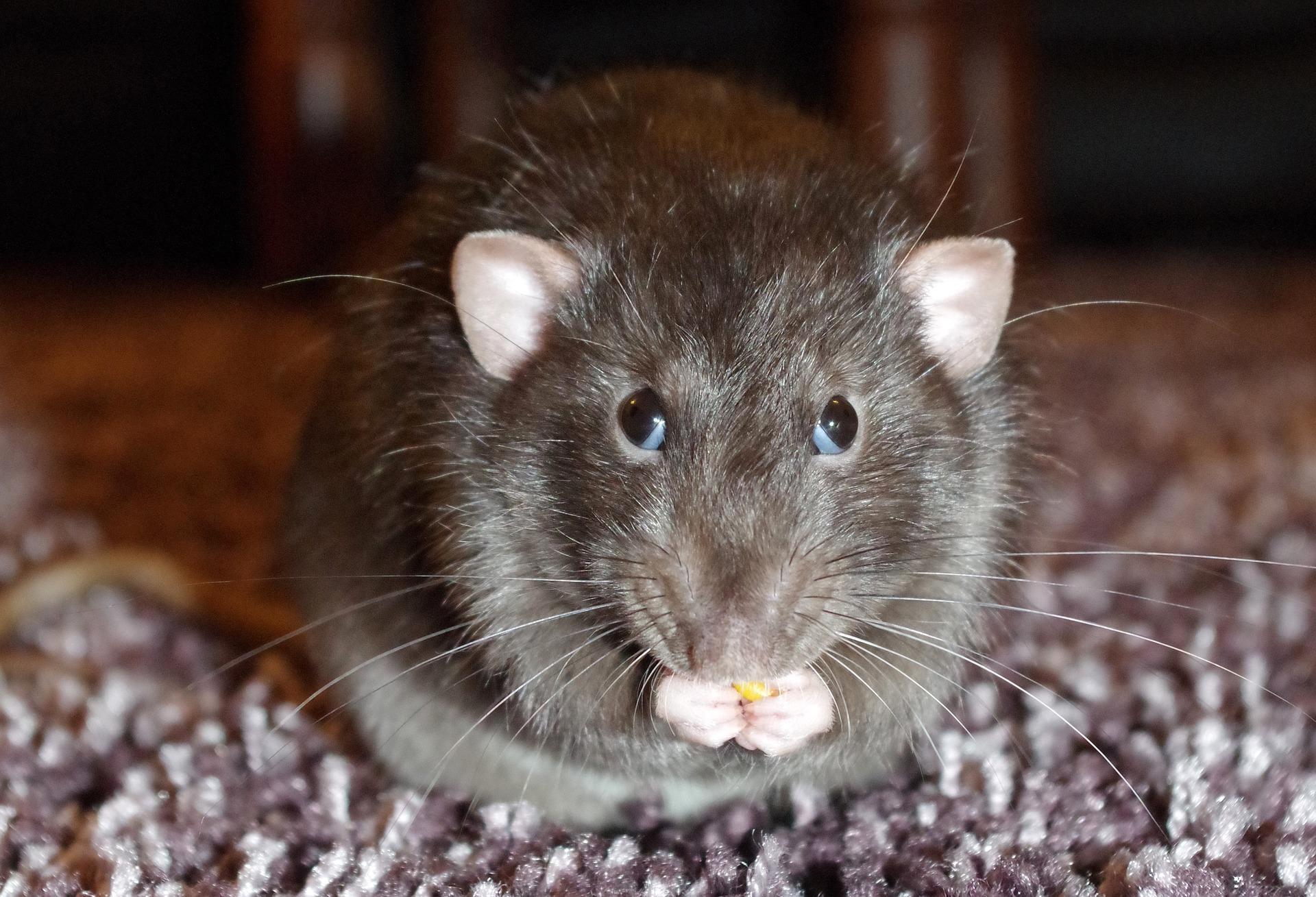 Продолжительность жизни крыс в домашних условиях
