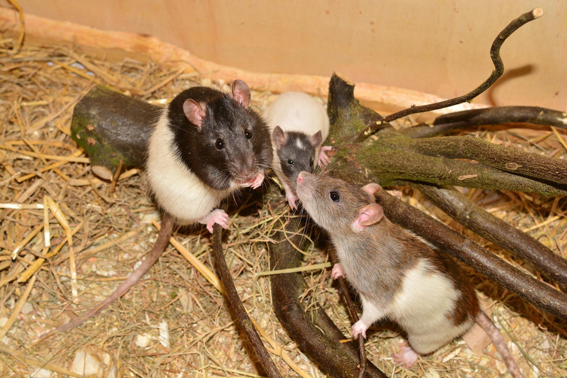 крысы на ветках