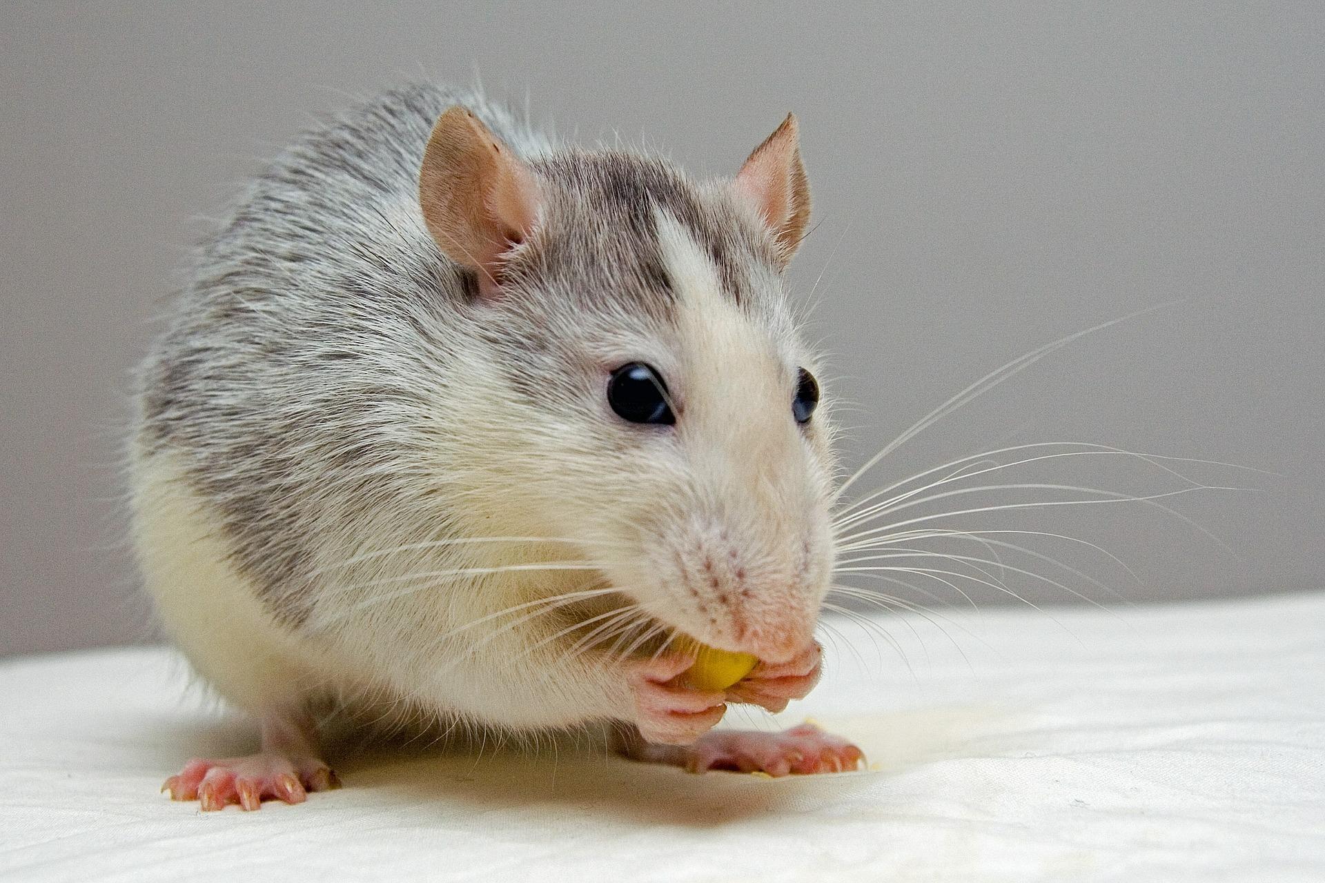 Крыса с печеньем