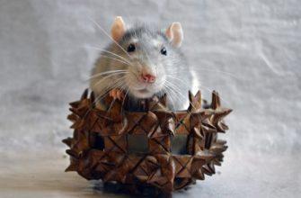 крыса в корзинке