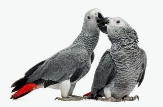 Сколько может жить попугай жако - главное фото
