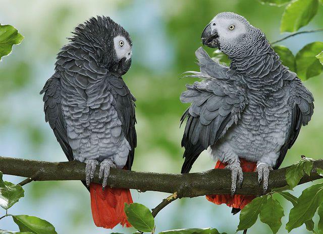 Сколько может жить попугай жако в природе