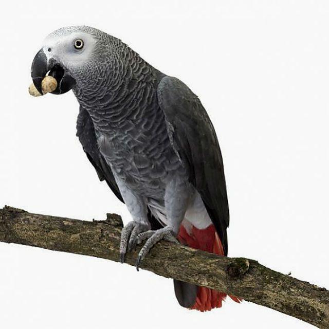 Как выбрать здорового попугая жако
