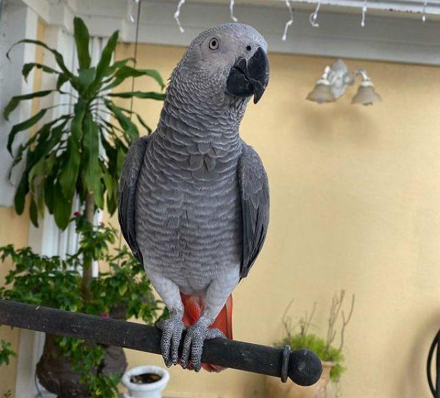 Сколько может жить попугай жако в домашних условиях