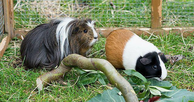 Уход и содержание морских свинок в домашних условиях