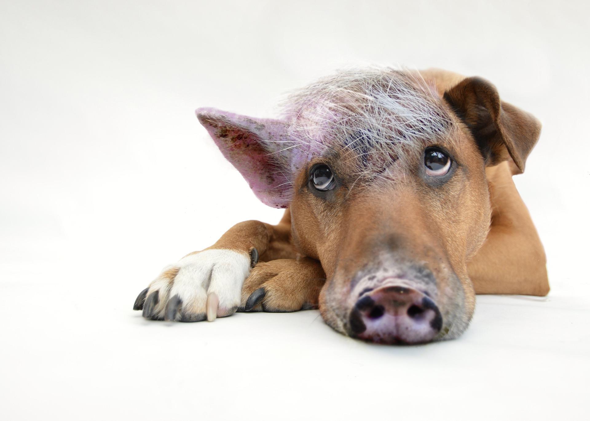 уродливая собака