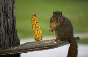 белка и кукуруза